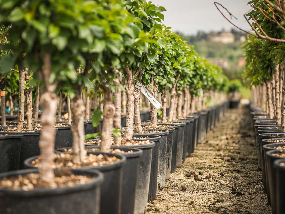 Coltivazione piante in contenitore - Caesalpinia gilliesii cultivo ...